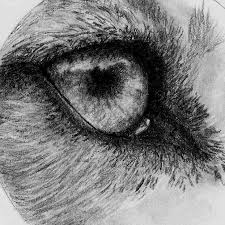 drawn wolf wolf eye pencil and in color drawn wolf wolf eye