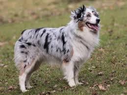 australian shepherd long hair australian shepherd dog