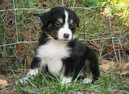 3 month australian shepherd black u0026 white australian shepherd puppy aussies and friends