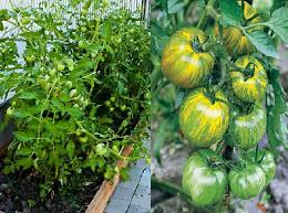 Bonnie Plants Patio Tomato Best Tomato Varieties For Containers Balcony Garden Web