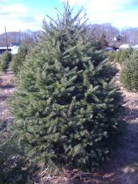 nc fraser fir christmas trees poe boy tree farm