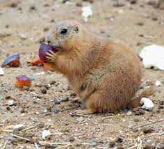 Maryland wild animals images 168 best prairie dogs images prairie dogs adorable jpg