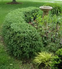 fresh simple boxwood shrub 9863
