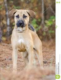 belgian sheepdog hound shepherd hound mixed breed puppy adoption portrait stock photo