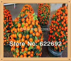 edible fruit wholesale mini potted edible fruit seeds bonsai orange seeds china