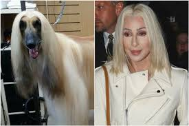 afghan hound blonde need a poodle perm meet the crufts man who gives pets the star
