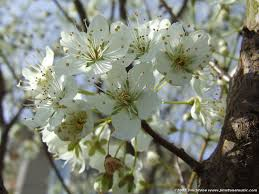 great white flowering cherry trees for sale at trees direct