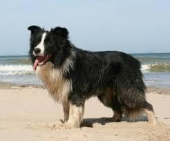 australian shepherd 101 cool border collie facts interesting dogs 101 bordercollie
