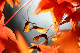 buchanans native plants want fall color try these maples for your houston landscape