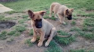 belgian shepherd nature belgian malinois puppies dog breed information dog photos