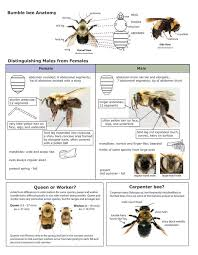 Male And Female Anatomy Key To Distinguishing Males From Females And Bee Anatomy