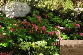 garden design old fashioned bleeding heart in a shade garden