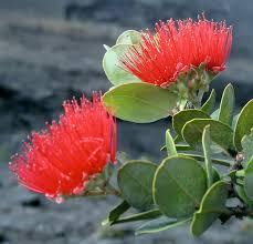 State Flower Of Montana - hawaii island flower u0027ohi u0027a blossom