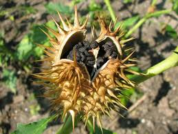 native plant society of new mexico datura makes excellent companion plant the taos news