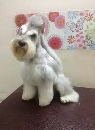 schnauzer hair cut step by step we just might have to try this and give minnie a mohawk