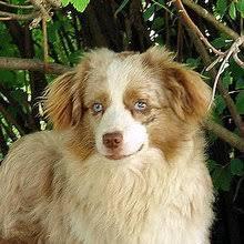 australian shepherd rottweiler mix puppies for sale miniature australian shepherd puppies for sale