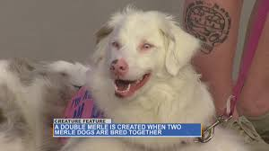 australian shepherd double merle creature feature double merle dogs u2013 what are they abc27