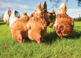 Keeping Free Range Chickens In Your Backyard Feeding Chickens The Easy Way Animals Grit Magazine