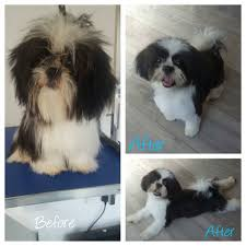 bedlington terrier shaved forever paws dog grooming home facebook