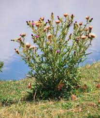 plants native to arizona bull thistle u2014 northern arizona invasive plants