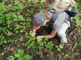 nc wages battle against ginseng poachers charlotte observer