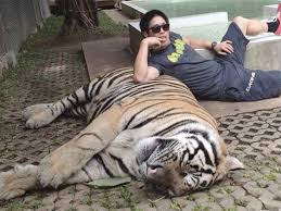 let u0027s travel magazine the true scale of tiger selfie tourism in
