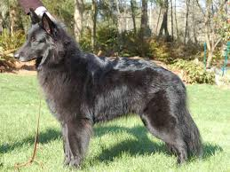 belgian shepherd dog temperament sheepdog breed and photos and videos list of dogs breeds