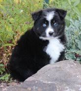australian shepherd 14 weeks australian shepherd puppies for sale