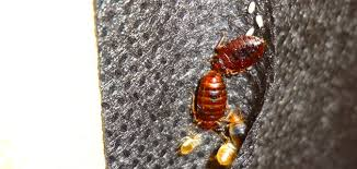 bed bug exterminator las vegas get 24 hour bed bug removal las vegas from stop buggn