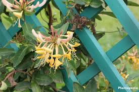 honeysuckle plant vines lonicera flower how to grow and care