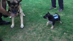 belgian sheepdog gif protecting the protectors new zealand police dogs show off new