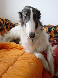 afghan hound least intelligent 17 least intelligent dog breeds where orlando turns first for