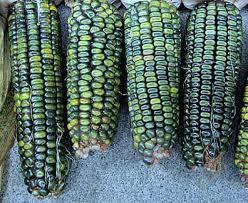 oaxacan green dent corn 50 bulk seeds gorgeous heirloom from