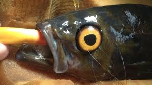 Artificial Eye For Blind Half Blind Fish Fitted With Prosthetic Eye At Vancouver Aquarium
