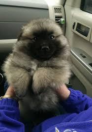 american eskimo dog small 23 chubby puppies mistaken for teddy bears
