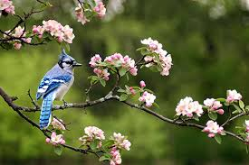 blue information facts pictures and bird feeding tips