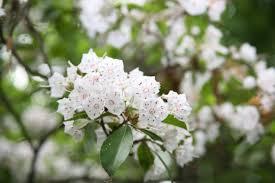 kalmia latifolia file mountain laurel kalmia latifolia 3564674695 jpg
