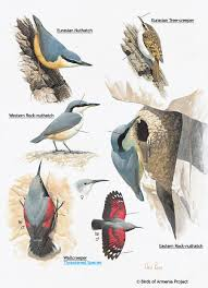 plate 53 nuthatches tree creepers and wallcreepers a field