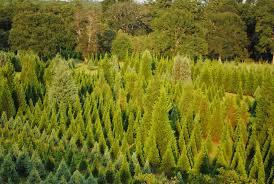 country pines christmas tree farms fairport ny beatiful tree