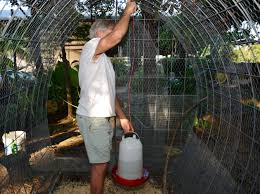 backyard poultry producers should be wary of high temperatures