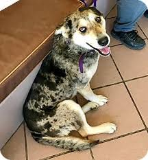 australian shepherd rescue las vegas ya ya adopted dog las vegas nv catahoula leopard dog