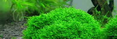 Aquascape Moss Aquarium Moss 101 The Aquarium Guide