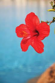herb to know heart healthy hibiscus sabdariffa health herb