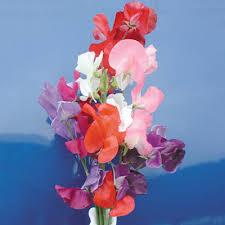 Sweet Pea Images Flower - sweet peas sweet pea mammoth choice mix