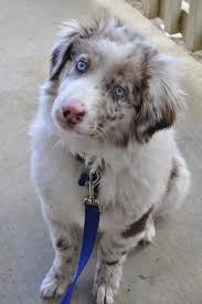 australian shepherd 7 wochen 659 best blu horizon aussies follow me on instagram and facebook