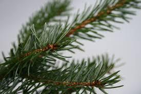 nordman fir fraser fir and noble fir christmas trees needlefresh uk