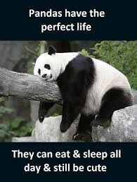 Funny Panda Memes - pandas funny pictures quotes memes jokes 411718 quotesnew com