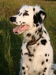 rare dalmatians sorts colors