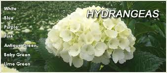 Bulk Hydrangeas Bulk Flowers Wholesale Flower Shop In Dc Area Roses Wedding