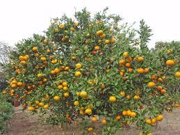 satsuma tree native citrus fruit trees of the south most popular